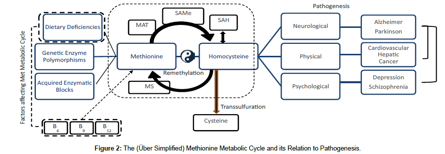 Methionine the one carbon metabolic cycle and its relation to nutrition metabolism metabolic cycle fandeluxe Gallery