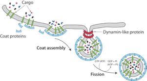 Topological Defect Driven Membrane Fission