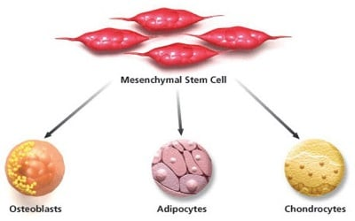 Age Dependent Changes of Biological Properties in the Multipotent Mesenchymal Stromal Bone Marrow Cells in FVB Mice