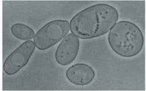A Modular Network Regulates Longevity of Chronologically Aging Yeast