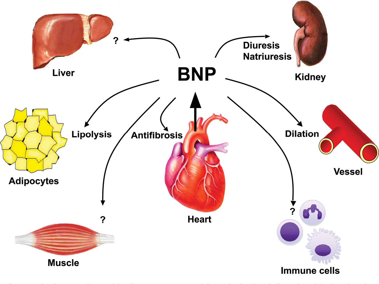 Cardiac Endocrinology: Heart-Derived Hormones in Physiology and Disease