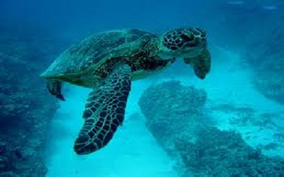 Sea Turtle Migration: What Kind of Cue they Use for Navigation?