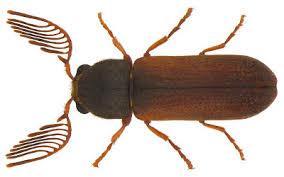Abundance and Distribution of Heterostigmatic Mites Tarsonemus sp., on Wood-Boring Beetles Recovered from Acacia Xanthophloea in Kenya