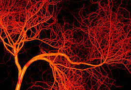 Blood vessels may be tiny however they cowl a lot of ground