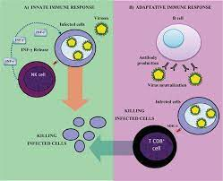 Cells of the Innate Immune   Response