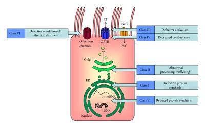 Spectrum of CFTR Mutations in the Algerian Population: Molecular and Computational Analysis