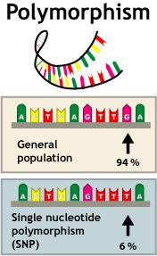 Genotype and Allele Frequencies of Calcium-Sensing Receptor Gene a986s (rs1801725) Polymorphism in Saudi Adults