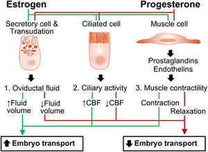 Impacts of Progesterone on Fertilization and Egg Transport in the Pig
