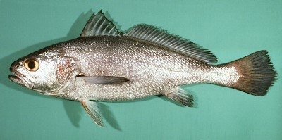 Growth and Mortality Parameters of Paralonchurus brasiliensis (Sciaenidae) Captured as Bycatch in Southeastern of Brazil