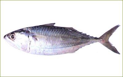 Population Dynamics of Bigeye Scad, Selar crumenophthalmus in Bangaa Faru, Maldives