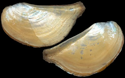 Mytilus galloprovincialis: Reproductive Cycle of Fields Mussels Close to a Lagoon (North Atlantic, Moulay Bousselham, Morocco)