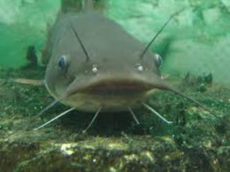 A Comparative Study of the Growth Performance and Food Utilisation of the African Catfish (Clarias gariepinus) Fed Unical Aqua Feed and Coppens Commercial Feed