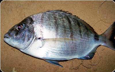 Population Biology and Diet of the Pompano Trachinotus carolinus (Perciformes: Carangidae) in Caraguatatuba Bay, Southeastern Brazil