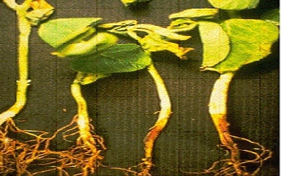 Enhance Suppressive Effect of Compost on Soybean Rhizoctonia Root Rot by Soil Treatment with Trichoderma harzianum