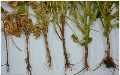 Genetic Diversity and Biological Control of Rhizoctonia solani Associated with Root Rot of Soybean in Assiut Governorate, Egypt