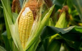 Maize Lethal Necrosis Disease: an Emerging Problem for Maize Production in Eastern Africa