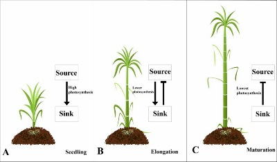 Sucrose Metabolism and Regulation in Sugarcane