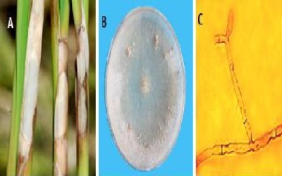 Efficacy of BAU-Biofungicide, Chemical Fungicides and Plant Extracts on Rice (Oryza Sativa L) Diseases and Yield