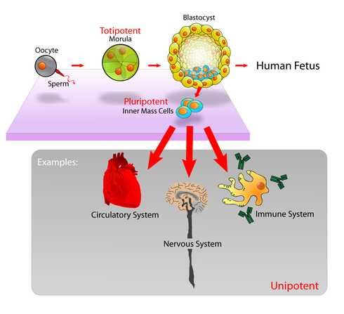 Human Stem Cell Proliferation and Differentiation: Lessens From a Lost Era of Research