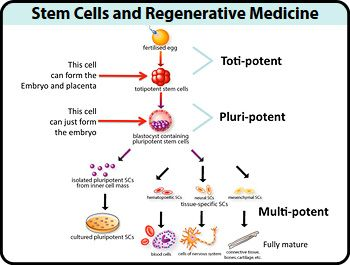 Stem Cell Biology and its Role in Regenerative Medicine: A Concept Shaping the Future of Medicine
