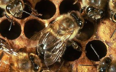 Bee Viruses: An Emerging Problem That Need BetterDiagnosis, Prevention and Control Strategies