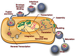 Role of Coatomer Protein I in Virus Replication