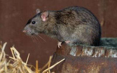 Understanding the Complex Relationship between the Human Pathogen Hantavirus and its Rodent Reservoirs Underpins a Rational Disease Control Strategy