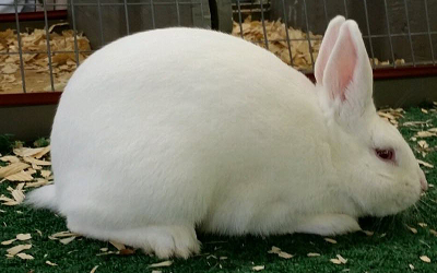 New Zealand White Rabbits Fed High Cholesterol Diets Develop Morbid Systemic Diseases before Intracranial Atherosclerosis is Detected