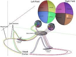 Retinal Physiology