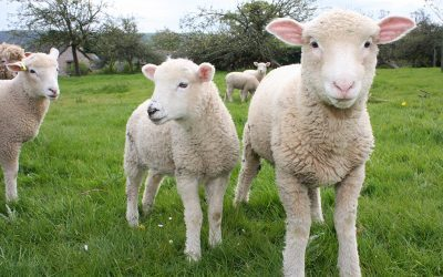 Use of Plant Anthelmintics as an Alternative Control of Helminthic Infections in Sheep