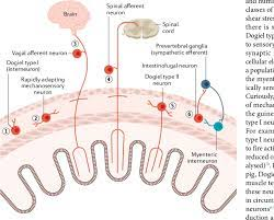 Sensory transmission in the Gastrointestinal Tract