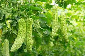 Defence Responses of Cucurbitaceous Rootstocks and Bitter Gourd Scions against Root Knot Nematode Meloidogyne Incognita Kofoid and White