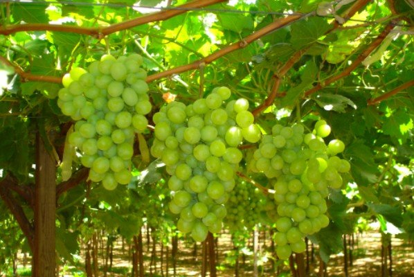 Feasibility Studies on Grape Production and Business Plan Development in Axum, Ethiopia