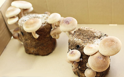 Comparative Study of Fruiting Body Production of some Oyster Mushroom in Two Different Temperatures