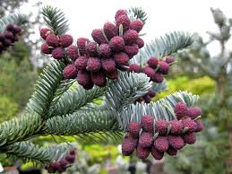Plant Species Diversity in Abies pindrow (Royle) Spach. Forest in Garhwal Himalayas, India