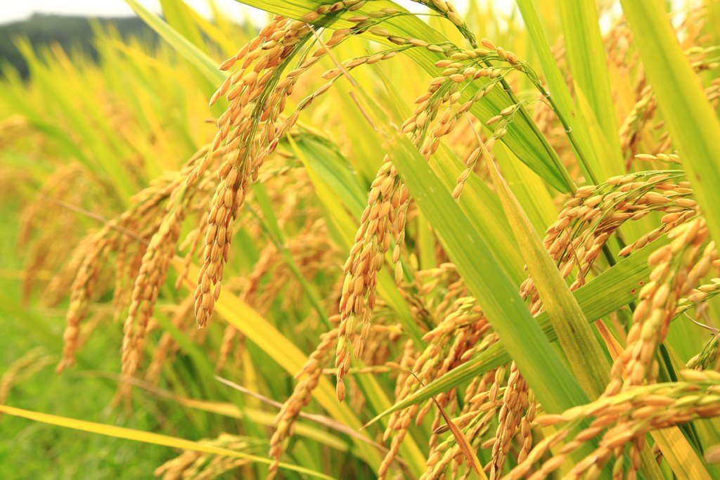 Studies of Genetic Parameters and Cluster analysis of some Quantitative Characters through Diallel analysis of rice (Oryza Sativa L.)